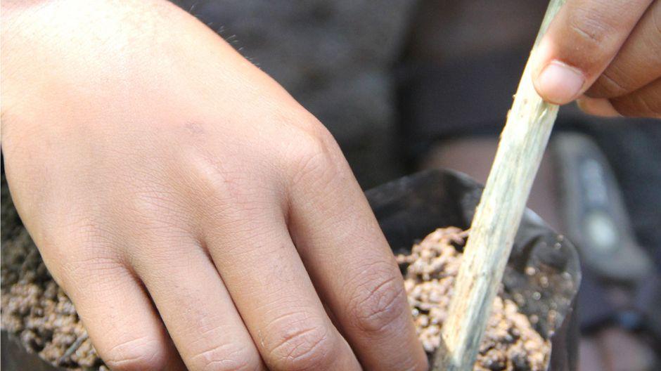 Ein Kind pflanzt kleine Setzlinge.